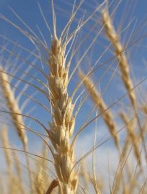 グルテンフリーで脱小麦中毒