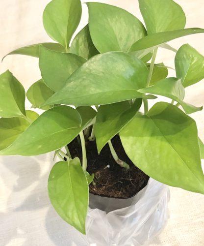 ダイソーで買った300円観葉植物のポトス